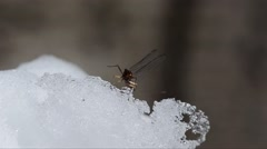 Mayfly, Ephemeroptera,  insect on snow, flies away, winter, Stock Footage