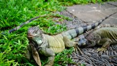 Iguana with a special fondness. Stock Footage
