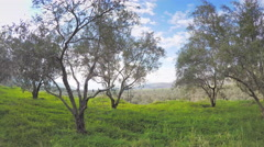 Olive trees large plantation groves valley dolly shot countryside blue sky Stock Footage