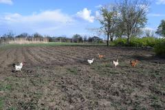The chickens walking in a kitchen garden. Stock Photos