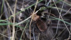Tarantula Walking Over Brush - stock footage