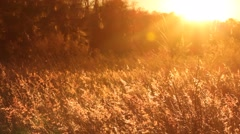 Field Glowing Gold in the Breeze Stock Footage