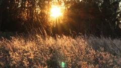 Golden, Glowing Wheat Against Sunset Behind Trees Stock Footage