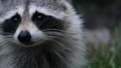 Raccoon (Procyon Lotor) in Florida Looking Around in a Closeup Stock Footage