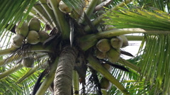 Coconuts on a palm tree Stock Footage
