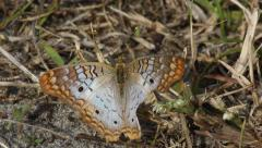 White Peacock Butterfly (Anartia Jatrophae) in Dead Grass Stock Footage