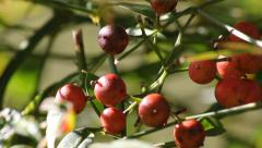 Myrtle Holly (Ilex Myrtifolia) Berries in the Sunshine Stock Footage
