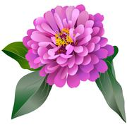 Realistic pink zinnia flower with three leaves Stock Illustration