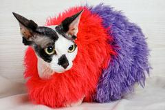 Sphynx cat wearing red and purple pullover Stock Photos