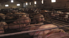 Pig Animal Farm - stock footage