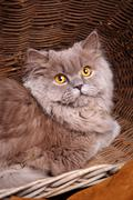 gray cat with yellow eyes  on a wooden basket - stock photo