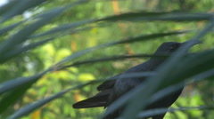 Jungle Crow Calling Stock Footage
