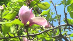 Pink magnolia flower on branch Stock Footage