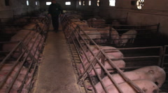 Indoor Pig Animal Farm  - stock footage