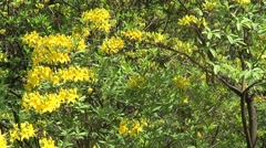 Yellow rhododendron Stock Footage