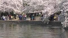 Washington DC beautiful spring cherry blossoms fast HD Stock Footage