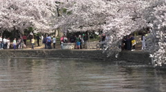 Washington DC beautiful spring cherry blossoms HD Stock Footage