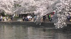 Washington DC beautiful spring cherry blossoms water HD Stock Footage