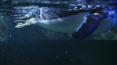 Gentoo penguins swimming through the water Stock Footage
