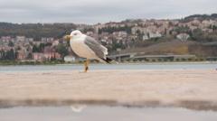 Seagull walks on the pier. Alone seagull closeup - stock footage