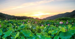 Beautiful pink lotus sunset with nice background Stock Footage