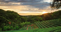 time lapse of tea garden sunset with nice background - stock footage