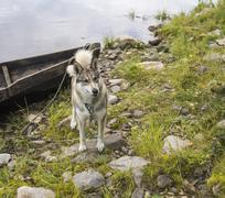 Husky dog at riverbank Pechora Stock Photos