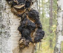 Shelf fungus  on the birch tree Stock Photos
