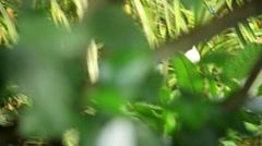Wattled jacana (Jacana jacana) Stock Footage