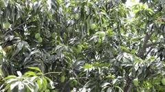 Raw mangoes on a mango tree Stock Footage