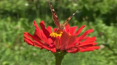 Butterfly Vanesse cardui on red flower Stock Footage