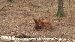 Scottish highland cattle, ruminant cow in forest - on camera Stock Footage