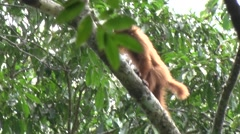 Bald-headed Uakari climb up tree in the amazon rainforest Stock Footage