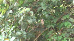 Bolivian Squirrel Monkey forage in the amazon rainforest filmed from boat - stock footage