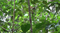 Bolivian Squirrel Monkey move in the amazon rainforest Stock Footage