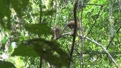 Bolivian Squirrel Monkey troop move in the amazon rainforest in understorage Stock Footage