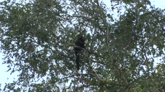 Brown-top Saki looking around high up in the tree top in the amazon rainforest Stock Footage