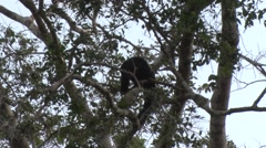 Brown-top Saki moving in the amazon rainforest canopy displaying Stock Footage