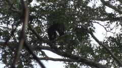 Brown-top Saki moving in the amazon rainforest displaying territorial behavior - stock footage