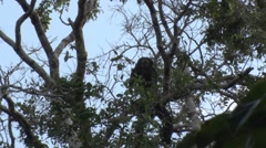 Brown-top Saki moving in the canopy in amazon rainforest Stock Footage