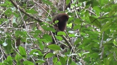 Coppery Titi Monkey looking and move away in the undergrowth in the amazon Stock Footage