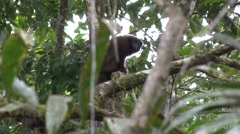 Coppery Titi Monkey looking around in the undergrowth in the amazon rainfores Stock Footage