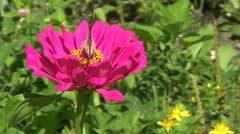 Vanesse cardui butterfly Stock Footage