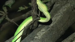 Emerald Tree Boa moves in the djungle in the night smelling with his tongue Stock Footage