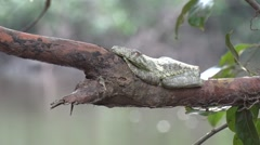 Gladiator tree frog resting in tree hanging out over water in the amazon Stock Footage
