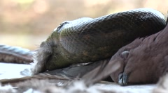 Green Anaconda move with mouth full of Ruddy Pigeon feathers in amazon Stock Footage