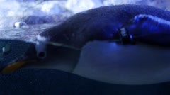 Gentoo penguins swim through the cold aquarium - stock footage