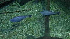 South American fish swimming through large aquarium Stock Footage