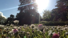 A large cluster of flowering daises in early summer in a nice park - stock footage