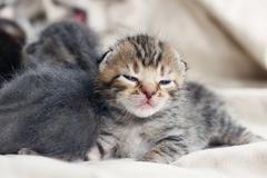 Grey striped kittens Stock Photos